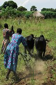 Oxen in yoke ploughing, using metal plough, handled by two women Mbale, Uganda, Africa