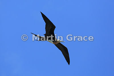 Great Frigatebird juvenile (Fregata minor ridgwayi), Islote Pitt, San Cristobal, Galapagos Islands