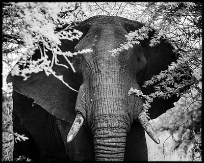 3418-Elephant_through_the_branches_of_an_acacia_tree_Laurent_Baheux