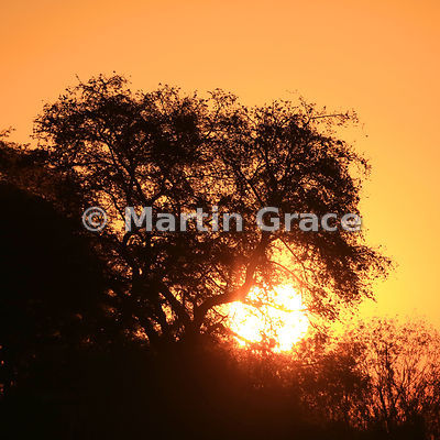 Riverbank vegetation silhouetted against the setting sun, River Chobe, Botswana