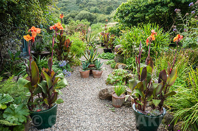 The Courtyard garden features many pots planted with a variety of succulents, orange cannas and other plants surrounded by self seeded fennel, euphorbia and other large leaved plants. Dyffryn Fernant, Fishguard, Pembrokeshire, Wales, UK