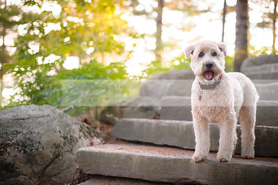 pretty blond clipped terrier dog staring standing on stone steps
