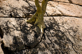 Roots of a tree growing out of a crack in a rock appear to flow over the surface