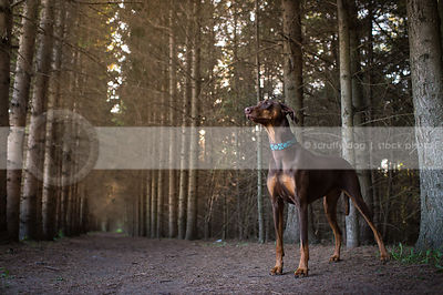 brown and tan doberman dog standing in pine forest