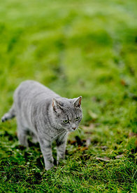 Grey cat in the grass 2