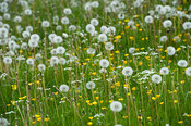 Filed full of Common Dandelion (Taraxacum officinalis) in seed Yorkshire, UK