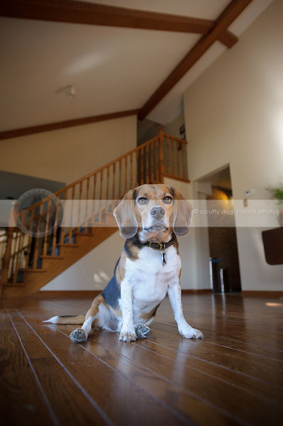 tricolor beagle dog sitting on hardwood floor indoors