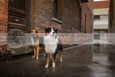 two dogs standing at door of brick wall in wet urban alley
