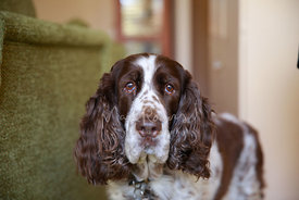 Close-up of Sad-Eyed Springer Spaniel