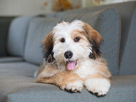Happy Bernedoodle Puppy Lying on Couch