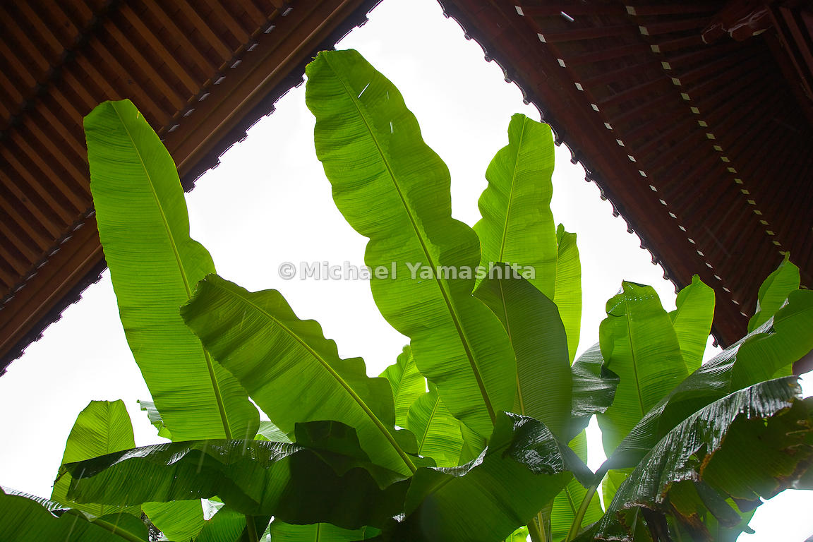 "The poet's samurai name was Matsuo Munefusa, but we know him by the name he adopted in middle age. That name, Basho, is Japanese for a kind of banana plant with a sturdy stalk and fragile, easily torn fronds—features with which the poet identified. The banana plant that grew outside his simple house in Edo, the former name of Tokyo, figures in one of his contemplative haiku: ""A banana plant in the autumn gale— / I listen to the dripping of rain / Into a basin at night."""