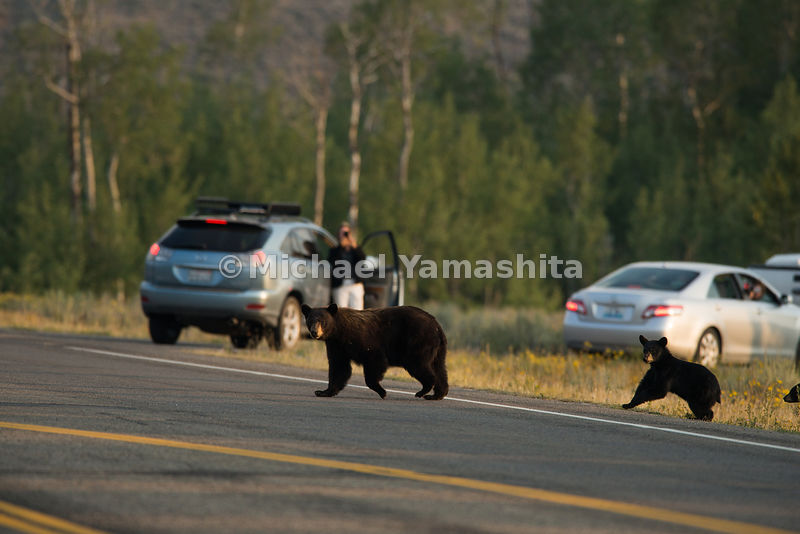 Black bear with cub on Moose Wilson Road. Grand Teton National Park, Wyoming...Jagged peaks of the Teton Range, lush meadows, dense forests and deep lakes, define this Park, which also teems with wildlife. Highest peak is 13,770ft., park encompasses 485sq. miles.