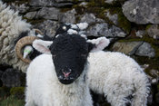 Newborn Swaledale lamb, Yorkshire, UK