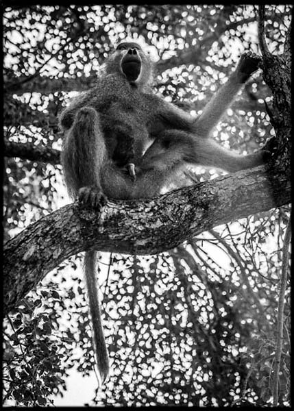 3605-Baboon_in_a_tree_Laurent_Baheux