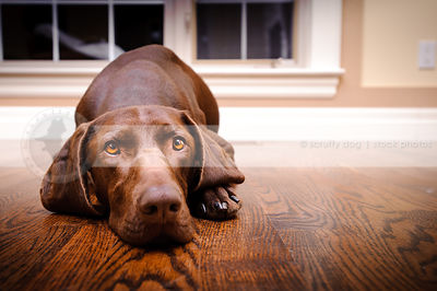headshot of serious brown dog lying on floor at home indoors