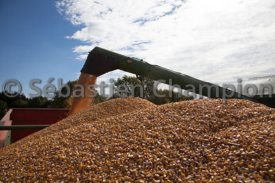 MOISSON DU MAIS GRAIN