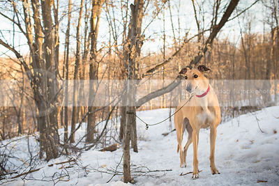 pretty fawn sighthound dog standing in trees in winter