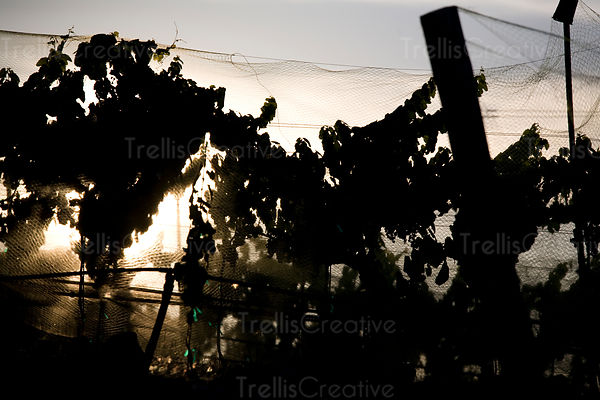 Netting is placed over vines with ripe grapes to prevent birds from eating them