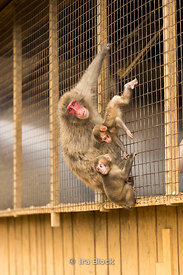A mother of Japanese snow monkey with a baby at Arashiyama Monkey Park Iwatayama in Arashiyama, Kyoto.