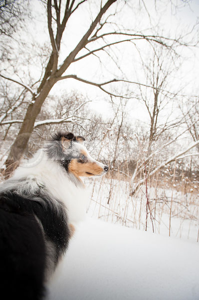 portrait of alert sheltie dog in field with snow and trees
