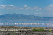 Lesser Flamingos (Phoenicopterus minor), Lake Natron, Tanzania