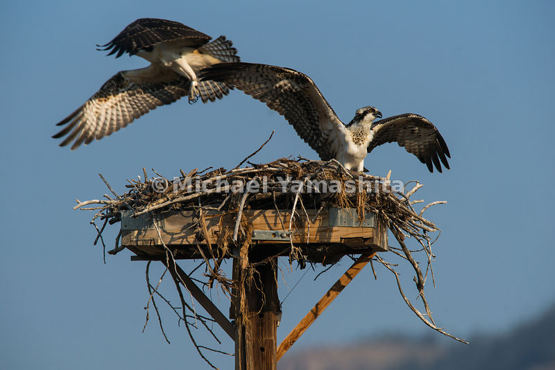 Osprey nest on Moose-Wilson Road.  Grand Teton National Park, Wyoming...Jagged peaks of the Teton Range, lush meadows, dense forests and deep lakes, define this Park, which also teems with wildlife. Highest peak is 13,770ft., park encompasses 485sq. miles.