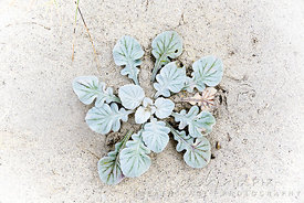Indigenous beach plant with green leaves