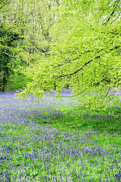 Bluebells at Parc Lye. Enys Garden, St Gluvias, Penryn, Cornwall, UK