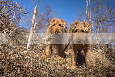 low angle photo of two airedale terriers on hill of dried grass