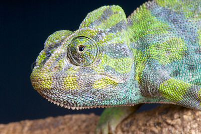 Common chameleon (Chamaeleo chamaeleon) photos