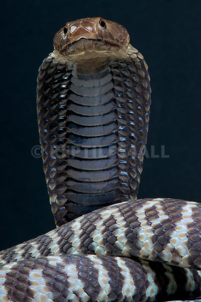 Zebra spitting cobra / Naja n.nigricincta photos