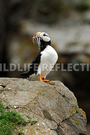 Horned Puffin Mouthful Fish Vertical 7