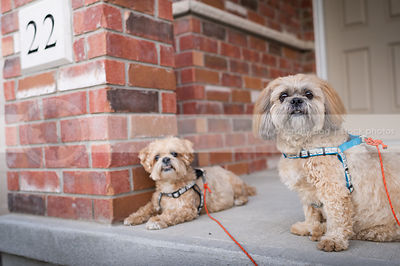 two cute caramel dogs posing on front porch at house