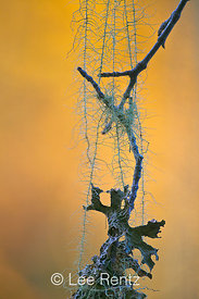 Impressionistic View of Usnea Lichen on Bigleaf Maple in Olympic National Park