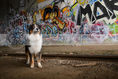 alert tricolor dog standing at train tracks with urban graffiti