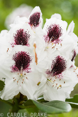 Rhododendron 'Sappho'. Sir Harold Hillier Gardens/Hampshire County Council, Romsey, Hants, UK