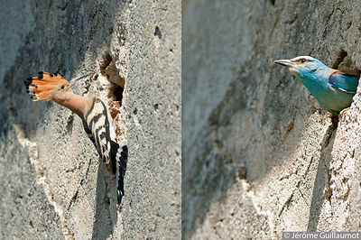 Hoopoe and Roller : a strange cohabitation (June 2014) photos