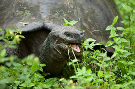 A giant tortoise makes it's way through the green grass to find a leafy snack in the Galapagos Islands.