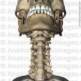 neck-uncovertebral-joint-luschkas-joints-intervertebral-disc-discus-intervertebralis-chin-front