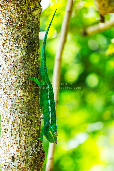 Chameleon walking down a tree