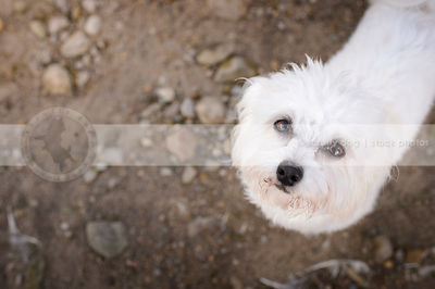 closeup of cute little fluffy dog looking up from sandy beach