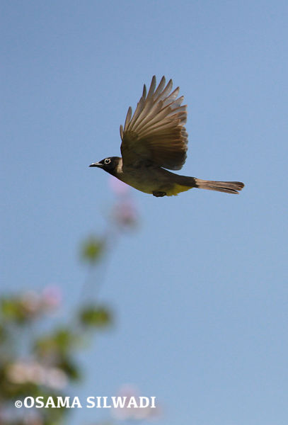 BULBULS photos