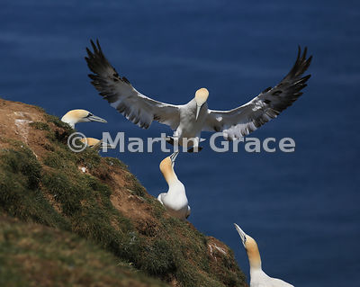 Sub-adult (4th-year) Northern Gannet (Morus bassanus) in flight over others on a cliff edge, Bempton Cliffs (RSPB), East Riding of Yorkshire, England