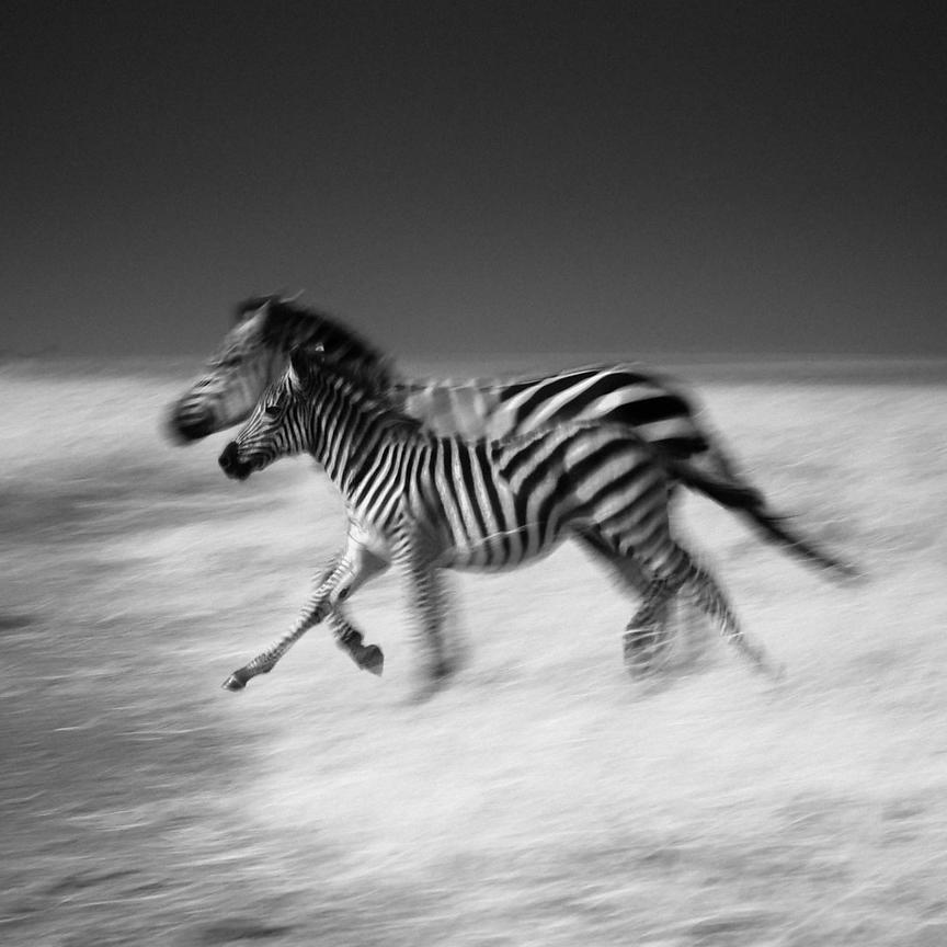 0617-Zebras_race_Kenya_2013_Laurent_Baheux