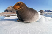 Bearded seal - Storkobbe