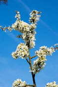 Blackthorn in bloom. Prunus spinosa