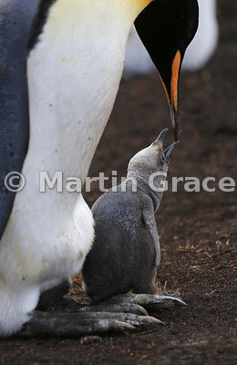 King Penguin (Aptenodytes patagonicus) tending to its chick, Volunteer Point, East Falkland, Falkland Islands