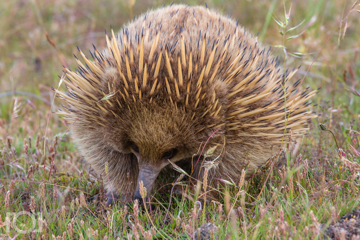 Echidna searching for food on Maria Island