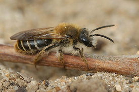 Andrena lathyri at Roche a l'homme, Nismes (2010/05/16)