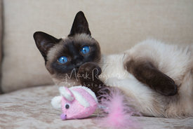Siamese cat playing with pink toy